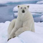 Избавиться от ожирения помогут…белые медведи!