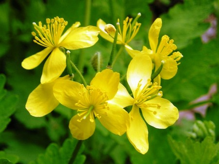 Чистотел: лечебные свойства ядовитой травы