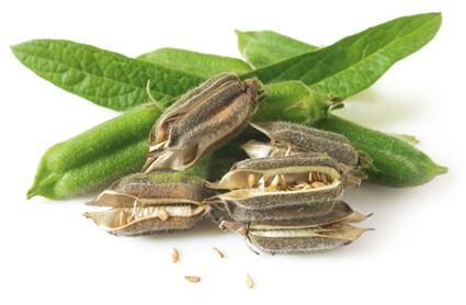 Кунжутное семя: польза и вред