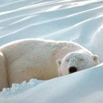 Как улучшить обмен веществ, подскажет ДНК…медведей