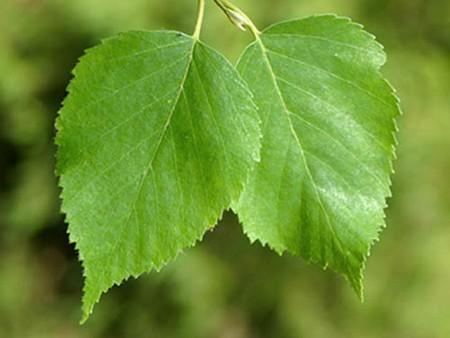 Листья березы в зеленой аптеке