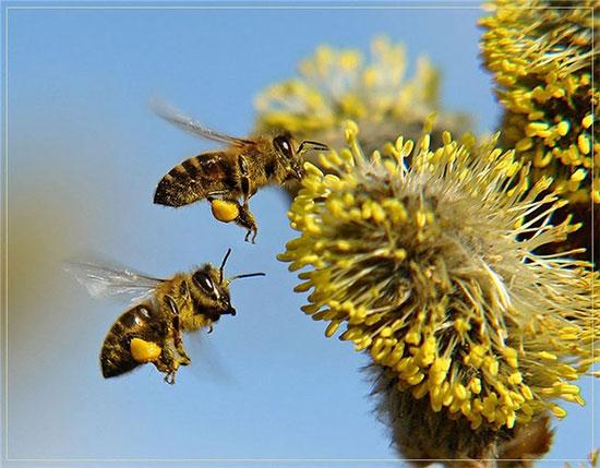 Применение пчелиного подмора