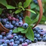 Голубика для нашего здоровья