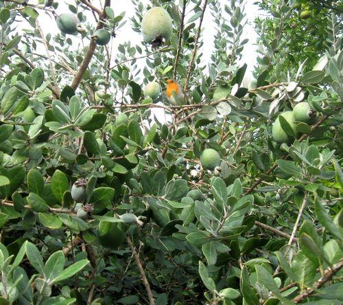 Фейхоа – что это за фрукт
