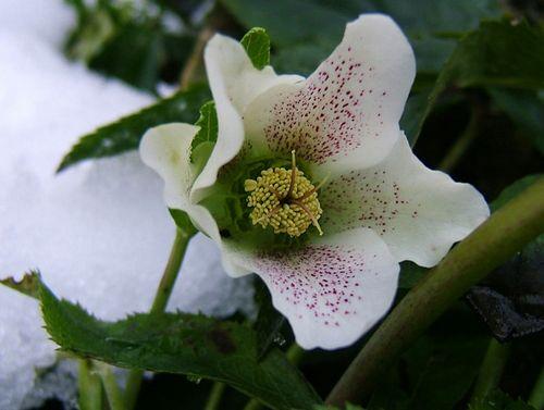 Морозник кавказский как средство для похудения