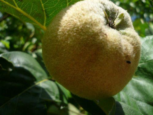 Японская айва: полезные свойства и вред