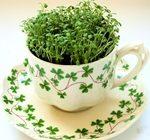 Микрозелень: растим витамины на подоконнике круглый год