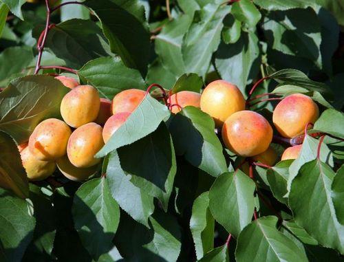 Полезные свойства абрикоса. Сорта абрикоса