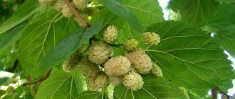 Ягода тутовник: полезные свойства и противопоказания шелковицы