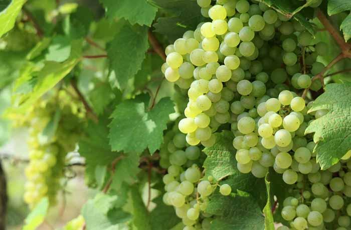 Калорийность винограда белого