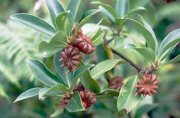 Растение бадьян