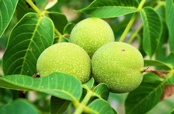 Калорийность грецких орехов зеленых